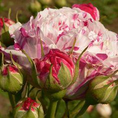 Rosa gallica versicolor AKA 'Rosa Mundi' AKA 'La Panachée' (Unknown origin, before 1581)