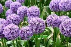 100pcs/bag allium giganteum,allium flower,beautiful flower seeds,outdoor plants,12 colous, plant for home garden