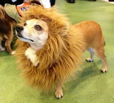 Chihuahua Halloween Costume Party