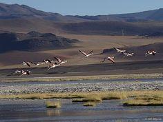 Andean Flamingos, Paso Sico, Chile