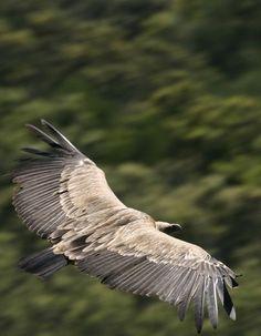 Las Peñas de Aroche son más de doscientas hectáreas de media montaña, llenas de jaras. Se encuentran en la zona muchas especies animales como el buitre negro, Andalucia  Spain