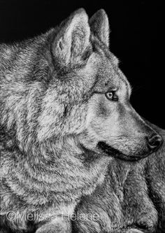 Wolf   5x7 scratchboard   Melissa Helene Fine Arts and Photography www.melissahelene.com #artwork #art #scratchboard #scratchart #wildlife #animalart #wolf #endangeredspecies #conservation #conservationart #artist