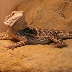Bearded Dragon Basking Being a desert lizard, in nature Bearded dragons spend most of their daylight time actively basking in the warm sun. This is not only to meat their temperature requirements for normal physiological functioning (i.e. to digest its food), but also to absorb ultraviolet rays from the sun. In pet... http://www.beardeddragons.co.za/bearded-dragon-basking/