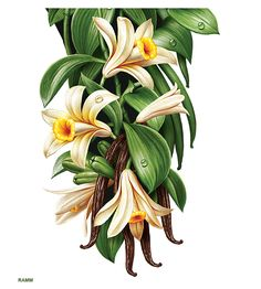 Vanilla flower with leaves, buds and two vanilla beans ...