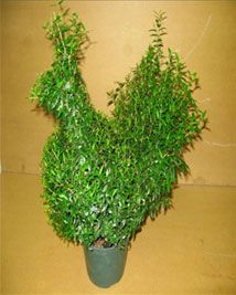 Details of Myrtle Topiary Products