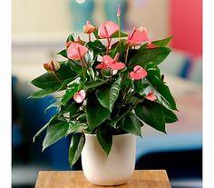 flamingoblume schneewittchen bl hende pflanzen pinterest pflanzen bl hende pflanzen und. Black Bedroom Furniture Sets. Home Design Ideas