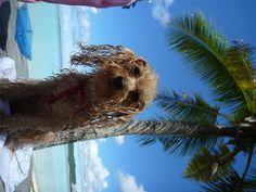 reggae dog ★   after swimming❢ I'm HAPPY poodle