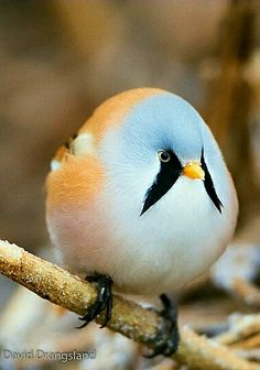 This sweet little bird is the Bearded Reeding also known as the Bearded Tit. - by David Drangsland
