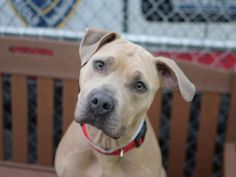 AVON - A1063287 - - Brooklyn  TO BE DESTROYED 01/30/16 A volunteer writes: Avon is the most beautiful girl with such a soft personality! When I first approached her cage she was vocal, but in retrospect she must've just been telling me how she couldn't wait to meet me! She thrives on human contact and wants nothing more than to hug (she'll gently prop her paws up on me and seems like she could stay there forever!), kiss, and wag her tail as she tells me, w