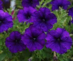 Imagens de flores: Flox