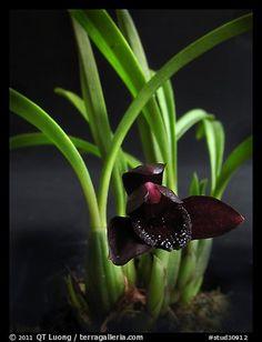 Maxillaria schunkeana. A species orchid (color)