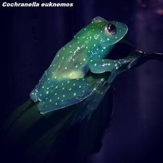 Cochranella euknemos
