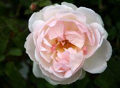 'Sharifa Asma' | Shrub. English Rose Collection. David C. H. Austin, 1989 | ©Calif_Sue