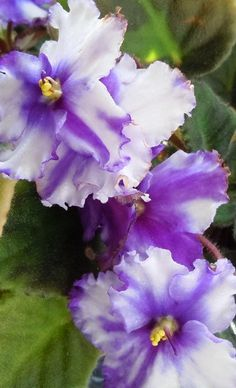African Violet - these are pretty i likeee the color the textureee there are so prettyyyy ¡¡