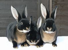 Black Otter Rex Rabbit - they look like the Velveteen Rabbit! Beautiful!