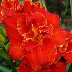 """LIBBY GALLION (Hensley, D) 2010 32"""" ML Fra DOR 6"""" TET  [(TAHLEQUAH FLAME x FLAME RESISTANT) X FIRES OF FUJI]  Fiery orange double with red ..."""