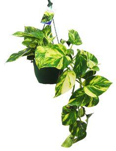 Epipremnum aureum (Devil's Ivy) Basket 20cm   Gardenworld Nursery