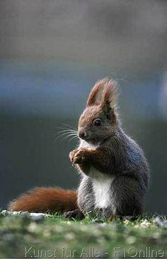 Eichhörnchen fressend