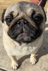JoJo is headed to the prestigious Westminster Kennell Club Dog Show in New York. Pug Dogs, Pugs, Puppies, Westminster Dog Show, Female Names, Pug Life, Prince Charming, Dog Pictures, French Bulldog
