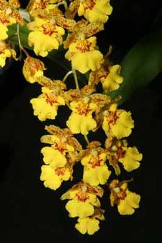 Google Image Result for http://www.sugarcraft.com/catalog/gumpaste/oncidium.jpg