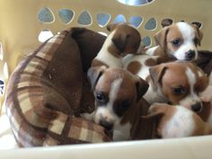 Adorable #Jackahua #Pups !  #AdorableJackRussell / #Chuhahua #pups, 6 males, 2 females, farm raised, dewclaws and tails docked, health check and first shots. Litter box trained. Mother on property, very quiet and pet quality dogs. Ready to go week of 6/14. Please call or emai...http://goo.gl/gPQSD6