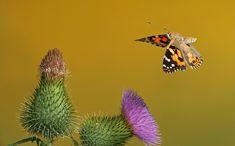 Distelfalter (Forum für Naturfotografen)
