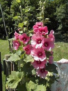 mum used to have hollyhocks in the backyard and my friend & I used to use toothpicks to make little dolls out of them the flower was the skirt and the bud was the head and hands. Pretty Flowers, Bloom, Plants, Beautiful Blooms, Hollyhock, Hollyhocks Flowers, Beautiful Flowers, Love Flowers, Beautiful Gardens