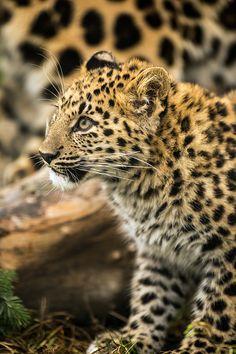 Amur Leopard Cub byDave Hunt Photography