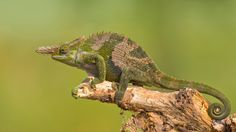 Photograph Fischer's Chameleon by Milan Zygmunt on 500px