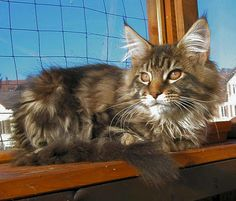 My next kitty will be a Maine Coon!  Smart, big old lovable kitties!