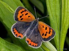 Gossamer Wing Butterfly (Lycaenidae)