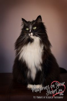 Norwegian Forest Cats - © Copyright 2014 Designcat Photography - Pawprints on Your Heart -  No editing, cropping or usage without written permission of the Photographer