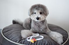 #toypoodle #silverpoodle  I'm home from #haircut hehe...