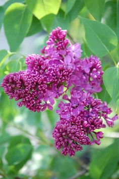 LILAC, MONGE (Syringa vulgaris'Monge') Height: 10'-12', Width: 8'-12'.  Full sun to part shade.  Showy panicles of single red-purple flowers are held on long stems perfect for cutting.  Flower clusters are fragrant.    Prefers well drained soils.  zn 3