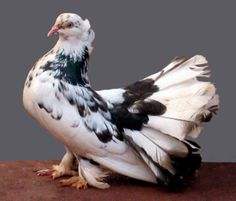 Some people do call indian fantail pigeon as hindi fantail pigeon. Kinds Of Birds, All Birds, Little Birds, White Pigeon, Dove Pigeon, Peace Pigeon, Fantail Pigeon, Pigeon Cage, Pigeon Pictures