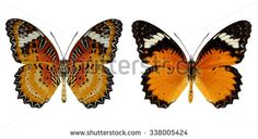 LEPIDOPTERA Fotos, imagens e fotografias Stock | Shutterstock