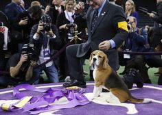 A rare victory for beaglekind at Westminster Dog Show - THE WASHINGTON POST #DogShow, #Westminster