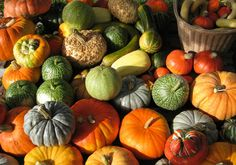 The main difference between winter squash (pumpkin, buttercup, butternut or spaghetti squash) and summer squash (zucchinis, patty pans) is… Baby First Halloween, Sources Of Vitamin A, Good Source Of Fiber, Amaranthus, Pantothenic Acid, Deciduous Trees, Summer Squash, Spaghetti Squash, Gardens