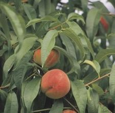 Both onions and garlic planted around a peach or other tree help repel peach tree borers.