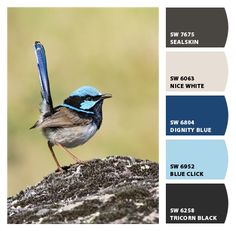 Just LOVE this photo  Superb Fairy-Wren Paint colors by Sherwin-Williams