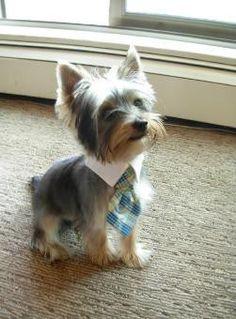 Yorkshire Terrier dog yorkshire-terrier