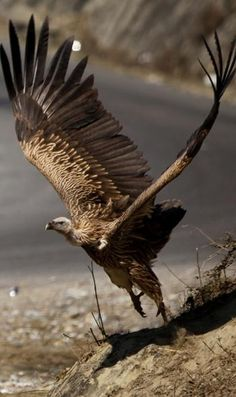 A Vulture about to fly! Stunning!