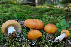Copper brittlegill - Russula decolorans