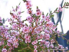 Thryptomene Bouquet, Flowers, Plants, Bouquet Of Flowers, Floral, Bouquets, Plant, Royal Icing Flowers, Floral Arrangements