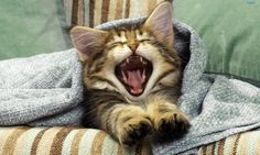 Cat Yawning, half cooked Bacon rasher for a tongue. Cute Kittens, Cats And Kittens, Funny Cats, Funny Animals, Cute Animals, I Love Cats, Crazy Cats, Top Image, Kitten Beds