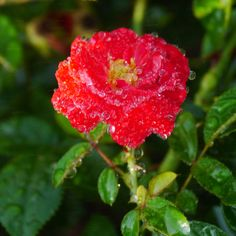 Rose by Yasutoshi Yamamoto on 500px