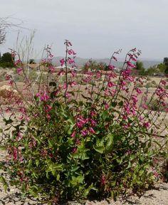 Penstemon pseudospectablis, Desert Penstemon --- 3'x3'.  Hummingbirds.  Hardy.  Drought tolerant.  Not a great pic.