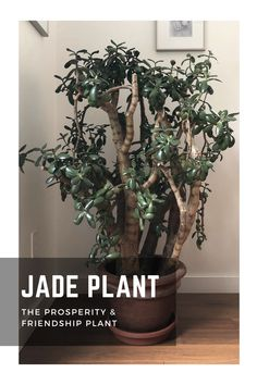Jade Plants are also known as Prosperity and Friendship plants. They are believeed to bring good Feng Shui and positive energy to the people who owns them. Here's eveerything you need to know about the Jade Plant and its care. #jadeplant #fengshui #goodfengshui #fengshuiplant #positiveenergy #succulents