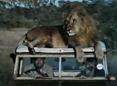 Maybe Africa for the weekend? Just to relax. Photo P, Robert Plant, Led Zeppelin, Big Cats, Lions, Badass, Africa, Horses, Range Rover