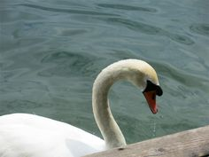 Swan in Slovenia   Photo by Sue Frause